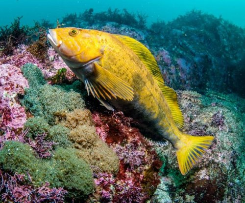 All-female hybrid fish species mates with males to maintain genetic diversity