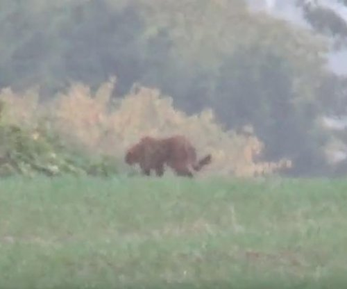 Large 'lynx-like' cat spotted in England