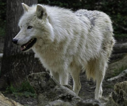 Escaped arctic wolf spotted two months later in North Carolina