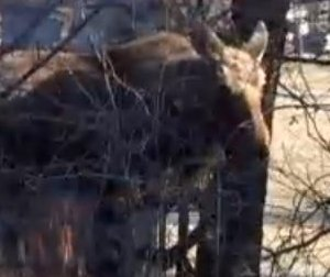 Loose moose runs through city, visits dog park