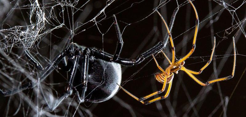 Male Black Widow Spiders Hijack Silk Strands Of Their Rivals To Find A Mate Upi Com