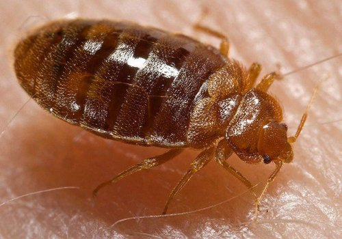 Scientists worry bed bugs could spread Chagas disease
