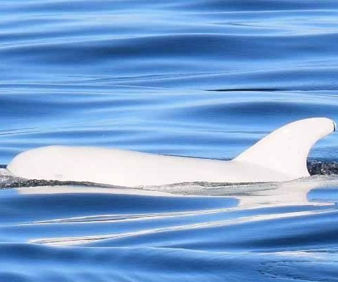 Rare white dolphin photographed in California