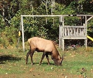First wild elk sighted in South Carolina in 300 years
