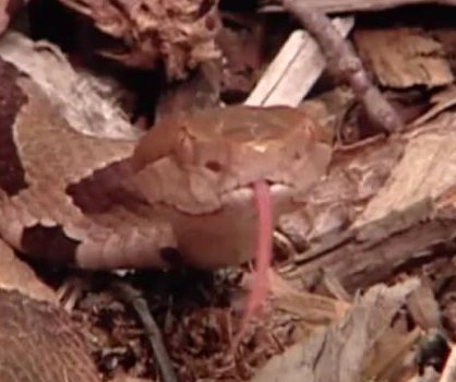 North Carolina woman finds copperhead snake in apartment