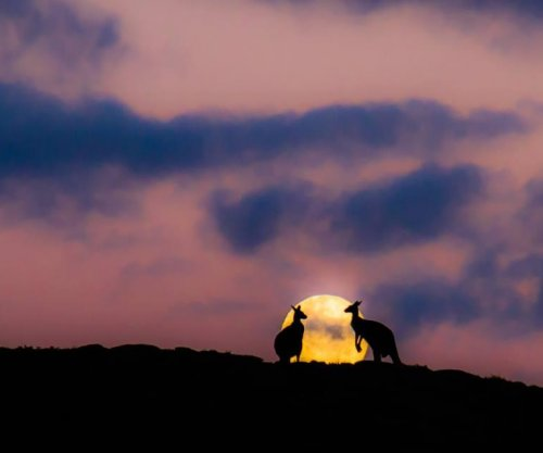Kangaroos meet for 'date' in front of rising moon