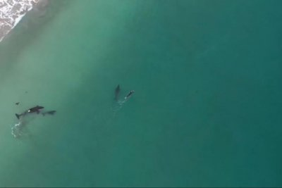 Killer whales approach swimmer in New Zealand