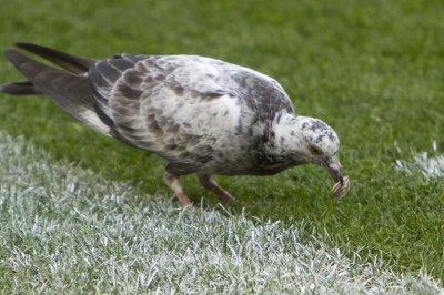 Stowaway pigeon delays flight by 20 minutes