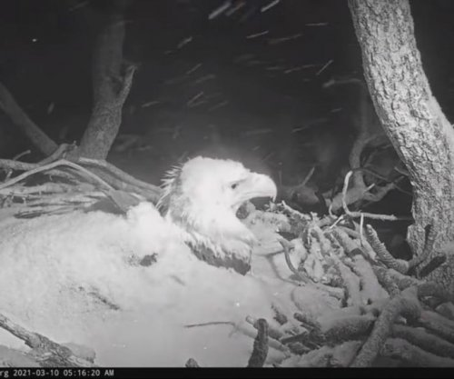 Bald eagle covered in snow while tending to eggs in California