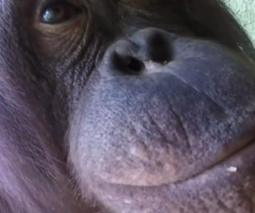 Orangutan takes video camera for zoo habitat tour