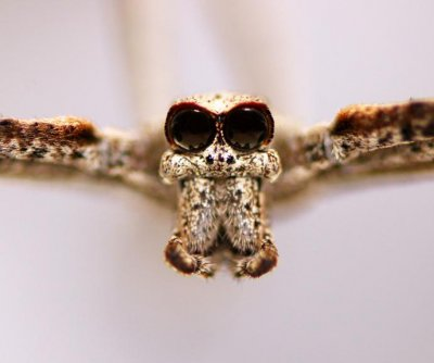 Leg hairs help ogre-faced spiders hear predators, prey