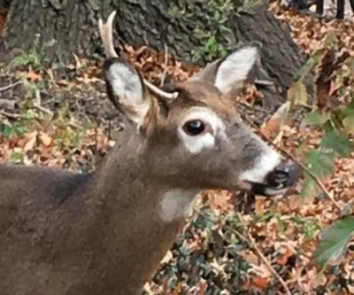 New Yorkers baffled by presence of three deer in Manhattan park