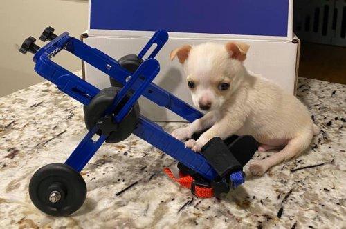 Puppy's pigeon friendship leads to custom wheelchair
