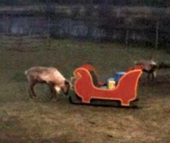 Rudolph's revenge: Reindeer destroys sleigh