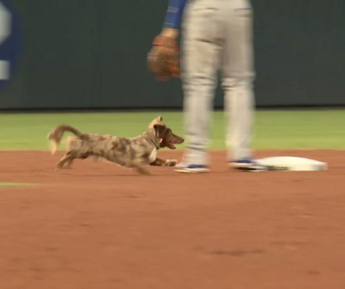 Minor-league game delayed by dachshund's mad dash
