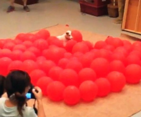 Jack Russell Terrier becomes fastest dog to pop 100 balloons