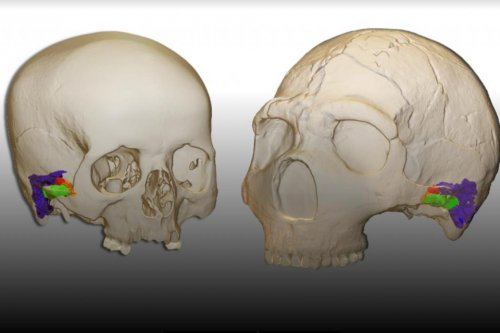 Study: Neanderthals could perceive and produce human speech