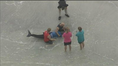 Beached sperm whale euthanized in Florida