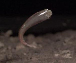 Mangrove rivulus jumps farther as it ages, researchers say