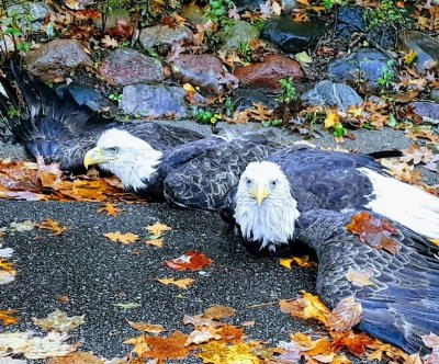 Minnesota police assist tangled eagles in middle of road