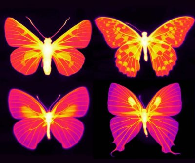 Scientists find living cells beneath scales of butterfly wings