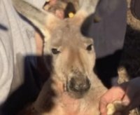 Escaped kangaroo captured after two days on the loose in Alabama