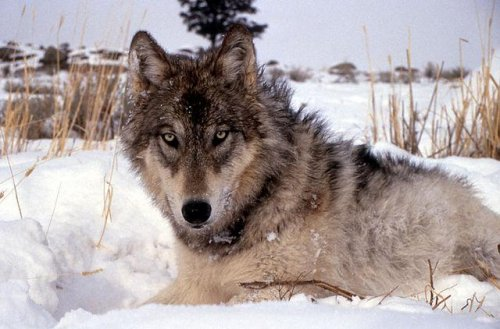 Wildlife groups offer $15,000 reward for info on wolf killing
