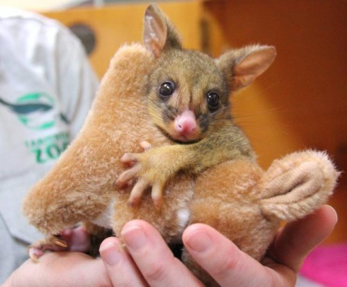 Orphaned possum treats kangaroo doll as surrogate mother