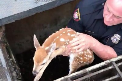 New Jersey police officer hoists baby deer from storm drain