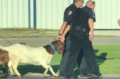 Police body camera records goat chase in Texas