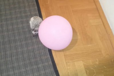 Baby hedgehog transfixed by big pink balloon