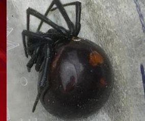 Wisconsin man captures county's first confirmed black widow