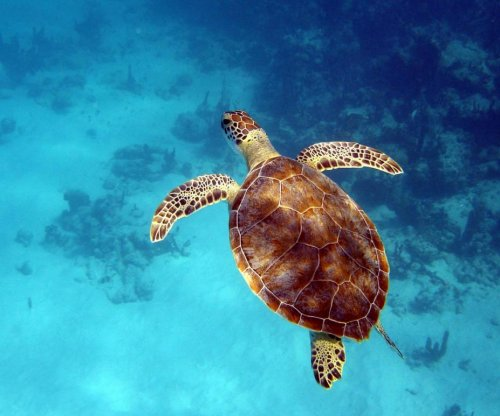 Fishermen in Turks and Caicos may be promoting local turtle disease
