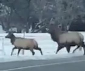 Traffic-stopping Idaho elk herd turns heads in viral video