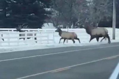 Traffic-stopping Idaho elk herd turns heads in viral video