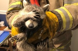 Firefighters remove 'embarrassed' raccoon from Georgia home