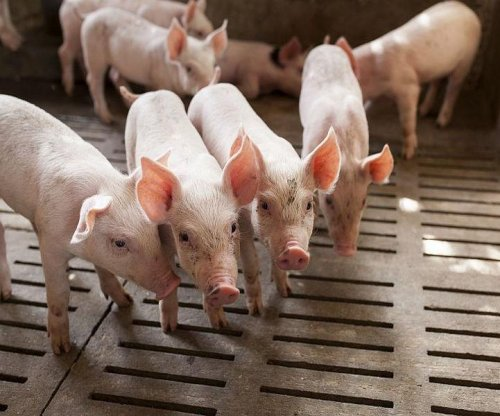 'Superbug' drug-resistance gene found on U.S. pig farm
