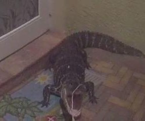 Florida police officer wrestles, relocates front porch alligator