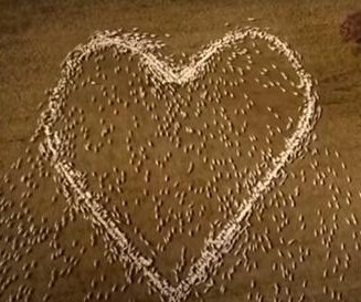 Australian farmer honors late aunt by arranging sheep into a heart