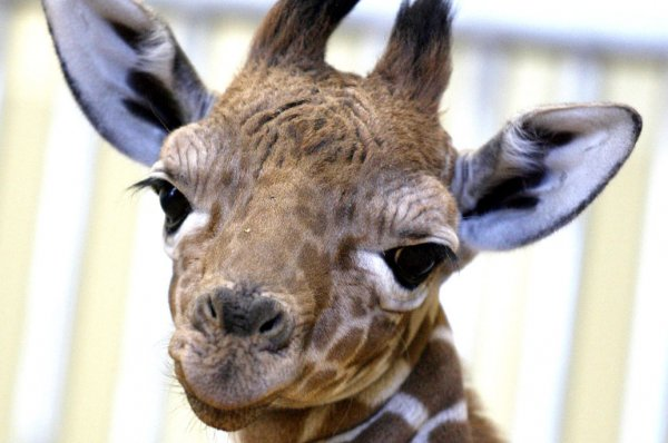 Police Reports Of Baby Giraffe On The Loose In Oregon A Hoax Upi Com