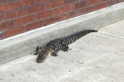 Florida police eject trespassing alligator from mall