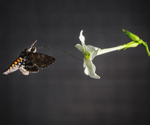 Scent helps hawk moths find best-fitting flowers