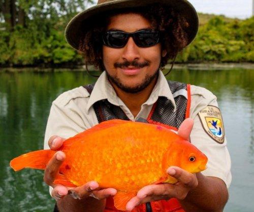 Huge goldfish caught in New York state's Niagara River