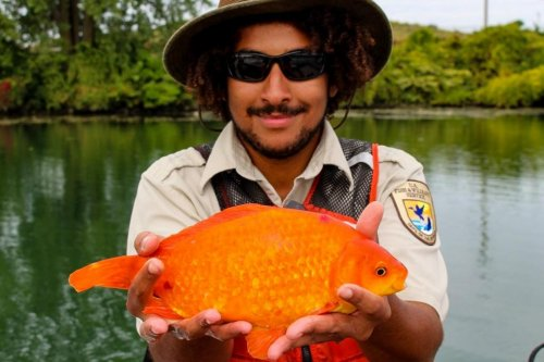 Huge goldfish caught in New York state's Niagara River