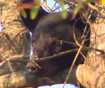 Bear cub spends the day lounging in tree behind North Carolina homes