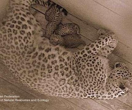 Persian leopard triplets born at Russian reintroduction center