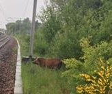 Scottish rail service interrupted by boar on the tracks