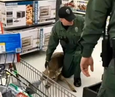 Wildlife officers escort deer out of Kentucky Walmart