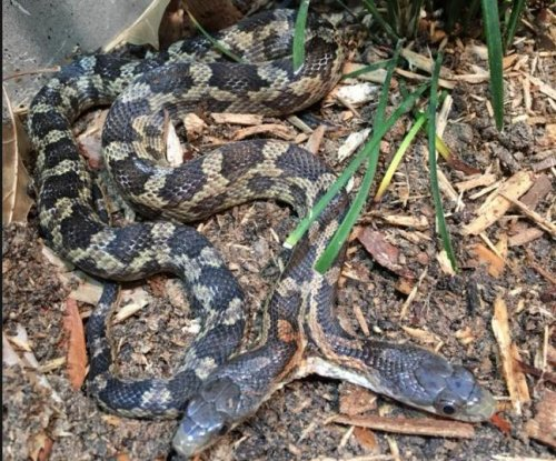 Two-headed snake on exhibit at Texas zoo