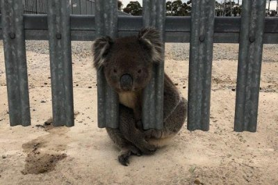 'Serial offender' koala rescued from power station fence